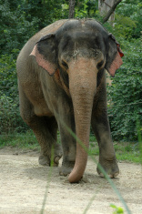 Elephant the Gentle Giant