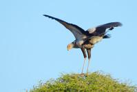 Secretary Bird - South Africa