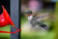 Ruby Red Throat Hummingbird