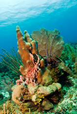 pillar coral off the Coast of Roatan Honduras