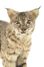 North American Bobcat (Lynx Rufus)