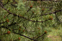 Water Drops on Pine Tree