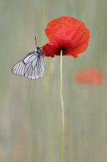 Poppy flower, Papaver rhoeas with Black-veined White butterfly,