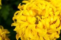 Chrysanthemem