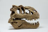 Tyrannosaurus skull model