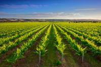 Shiraz vineyard in McLaren Vale, South Australia