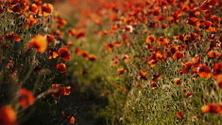 I Dream of Poppies