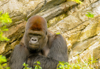 Gorilla Staring