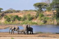 Elephant Family, Ruaha River
