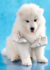 Samoyed dog