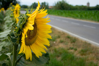 Sunflower facing a road