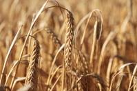 Ripe barley crop