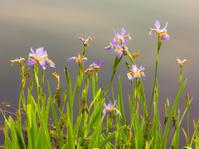 Pastel Wild Iris