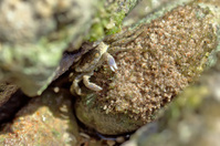 crab sits and eats