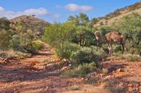 Camel by the track, Arkaroola
