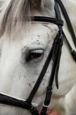 Eye of a horse with beautiful white eyelashes