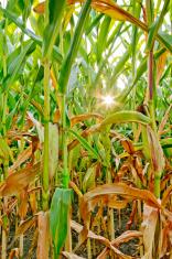 cornfield with sun