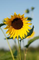 Wild sunflower front facing.