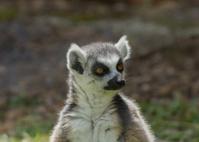 Lemur catta / Ring Tailed