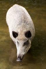 Wild boar / pig (Sus scrofa)