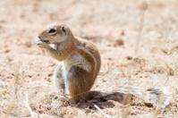 Ground Squirrel, Kgalagadi Transfrontier Park, South Africa