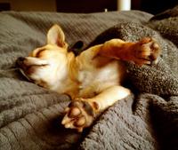 Sleeping Chihuahua