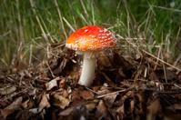 Mushroom with red cap