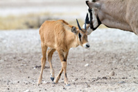 Young Oryx, Kgalagadi Transfrontier Park, South Africa
