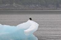 Bald Eagl on iceberg.