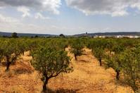 Almond Trees Orcahrd