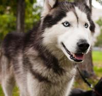 husky dog outside in park