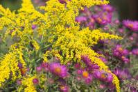 Golden rod and michaelmas daisies