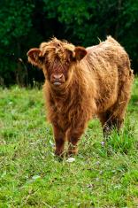scottish highland calve