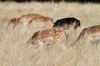 Feeding herd of fallow deer in long grass
