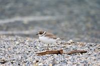 Sandpiper, little bird