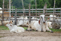 Cow farm in Thailand