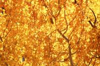 Aspen, Fall Colors 1