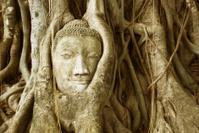 Buddha head entangled by fig tree