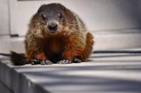 Urban marmot