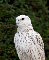 Falcon hunter