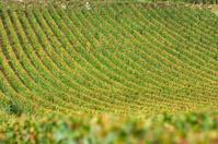 Vineyard in burgundy, france