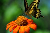 Giant Swallowtail on Orange Flower