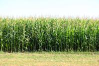Luscious cornfields