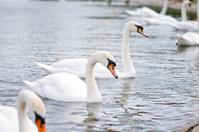 Swans at the Kensington Gardens, London