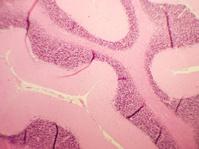 Cerebellum Slide Through Microscope