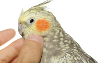 Cockatiel Hen Enjoying Scratching of Her Head
