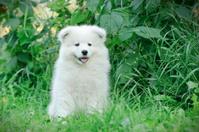 Llittle Samoyed  puppy portrait