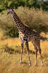 Young Giraffe (Giraffa camelopardalis)