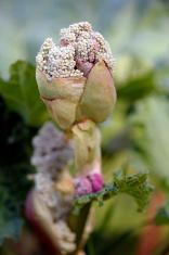 rhubarb  flower bud