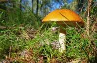 red cap mushroom
